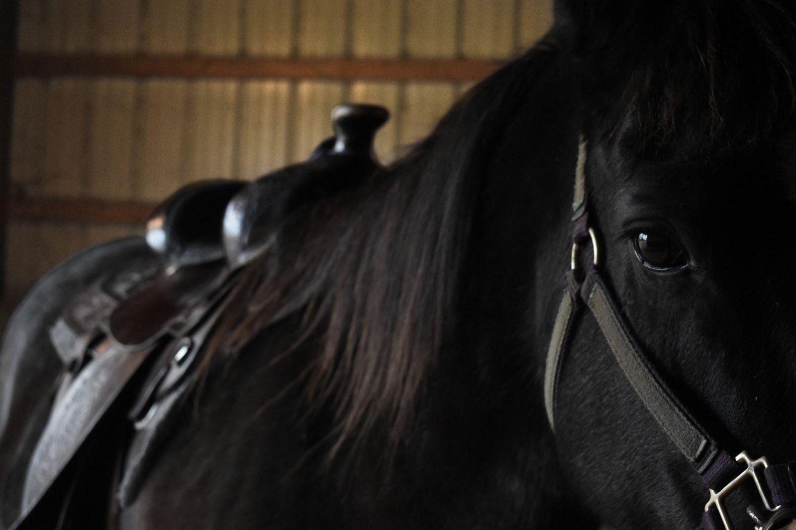 Girth gall in horses - Vetster
