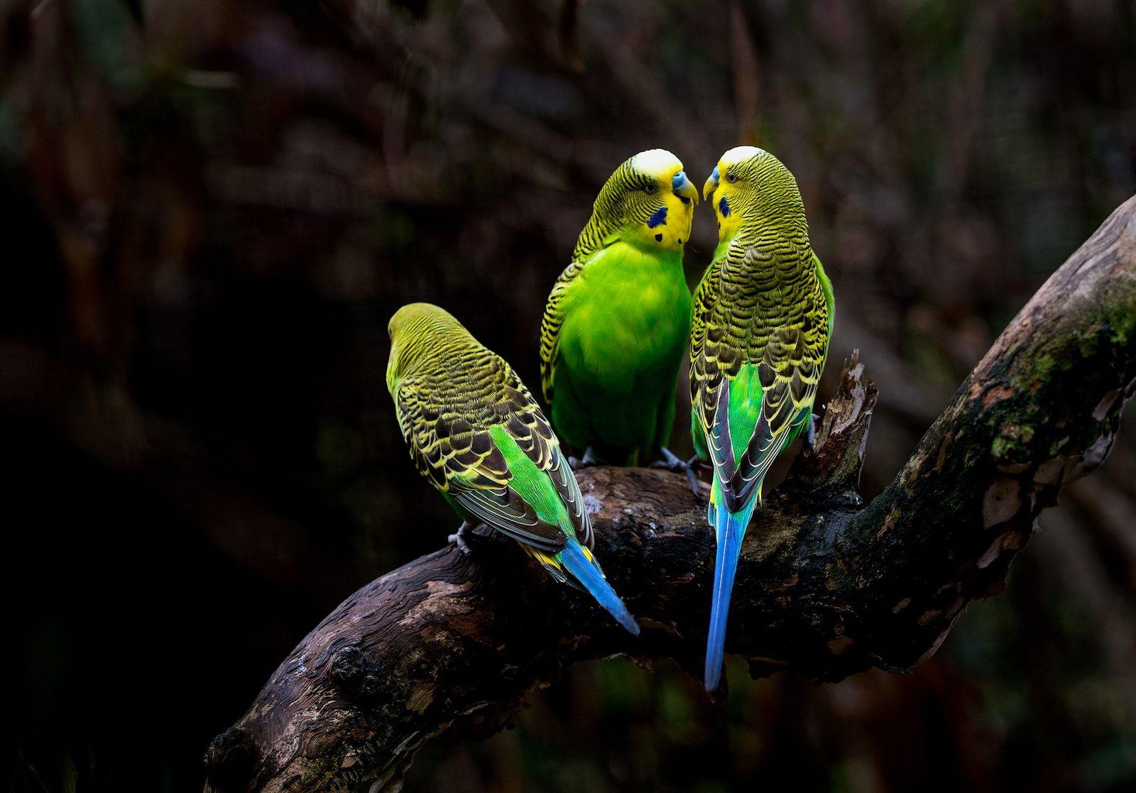 Candidiasis in pet birds - Vetster