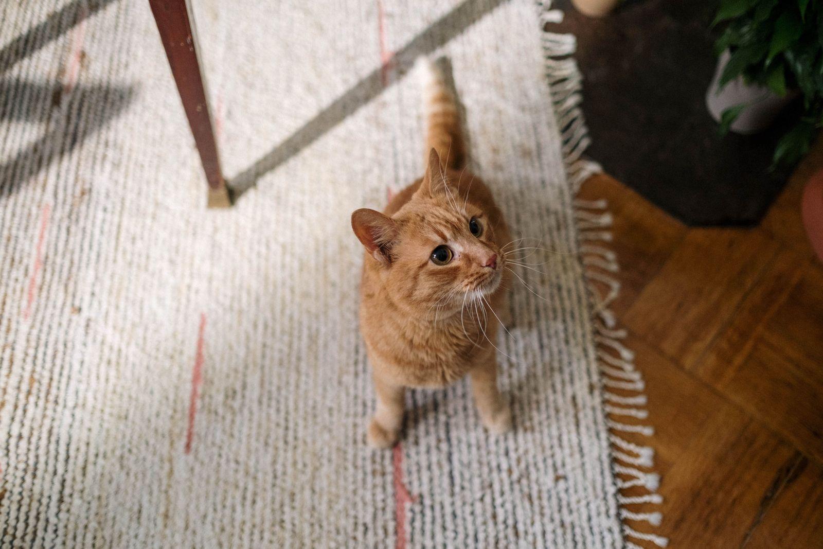 Dental Disease in Cats - Vetster