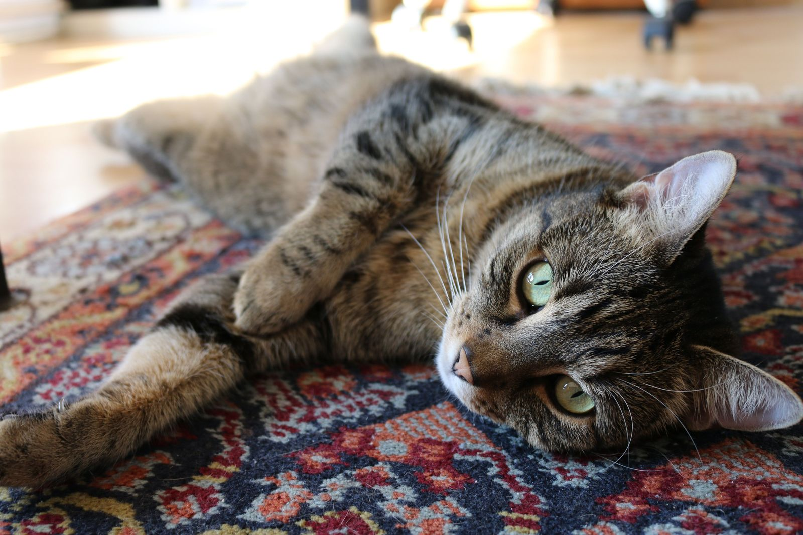 Bacterial infections in cats - Vetster