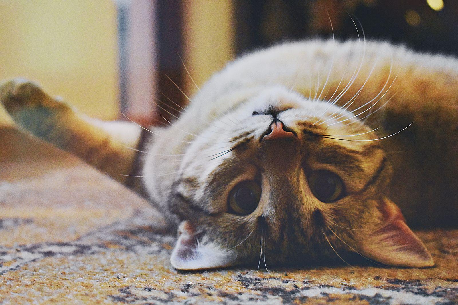 Diabetes in Cats - Vetster