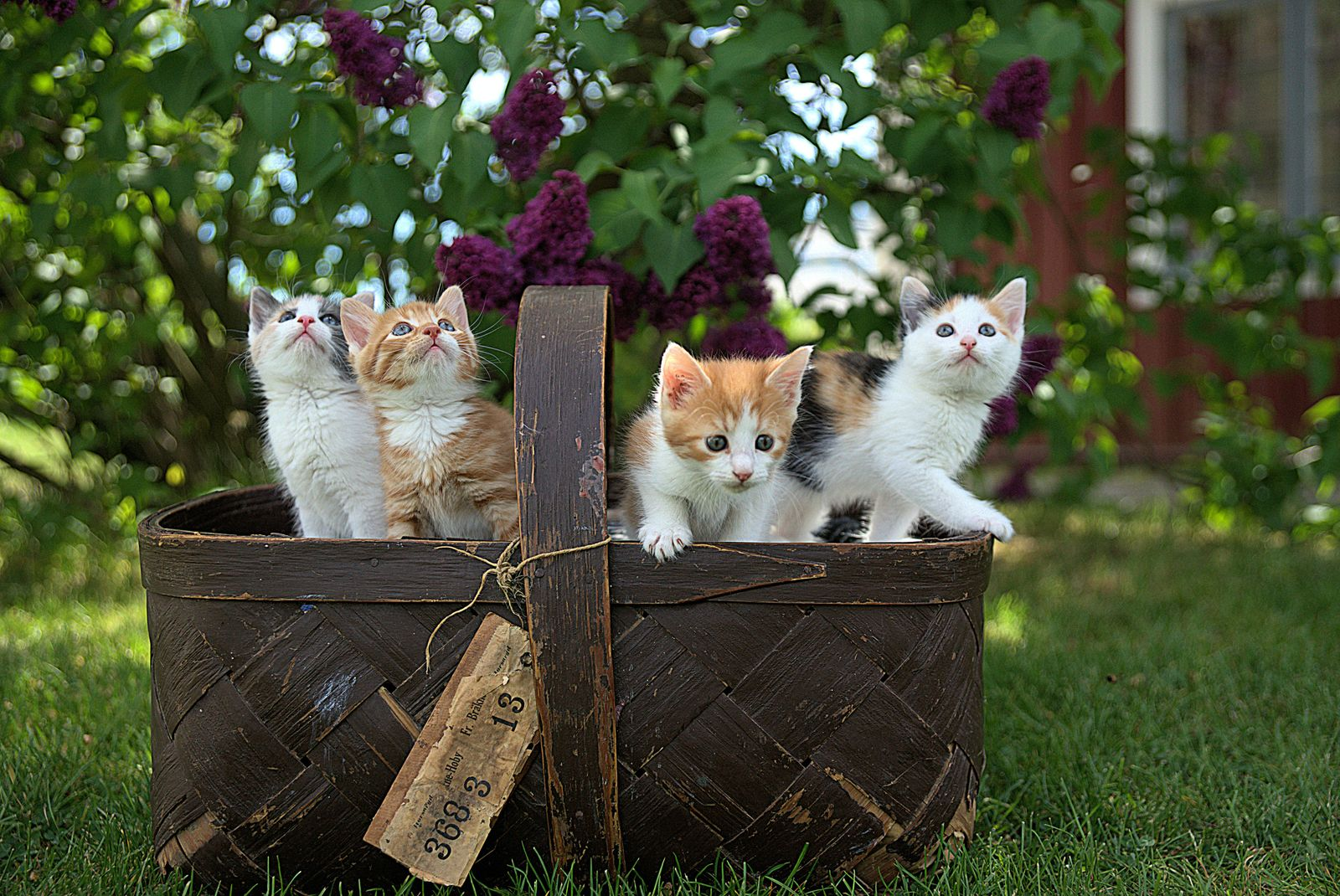 What type of cat should I get? - Cute kittens in a wood basket