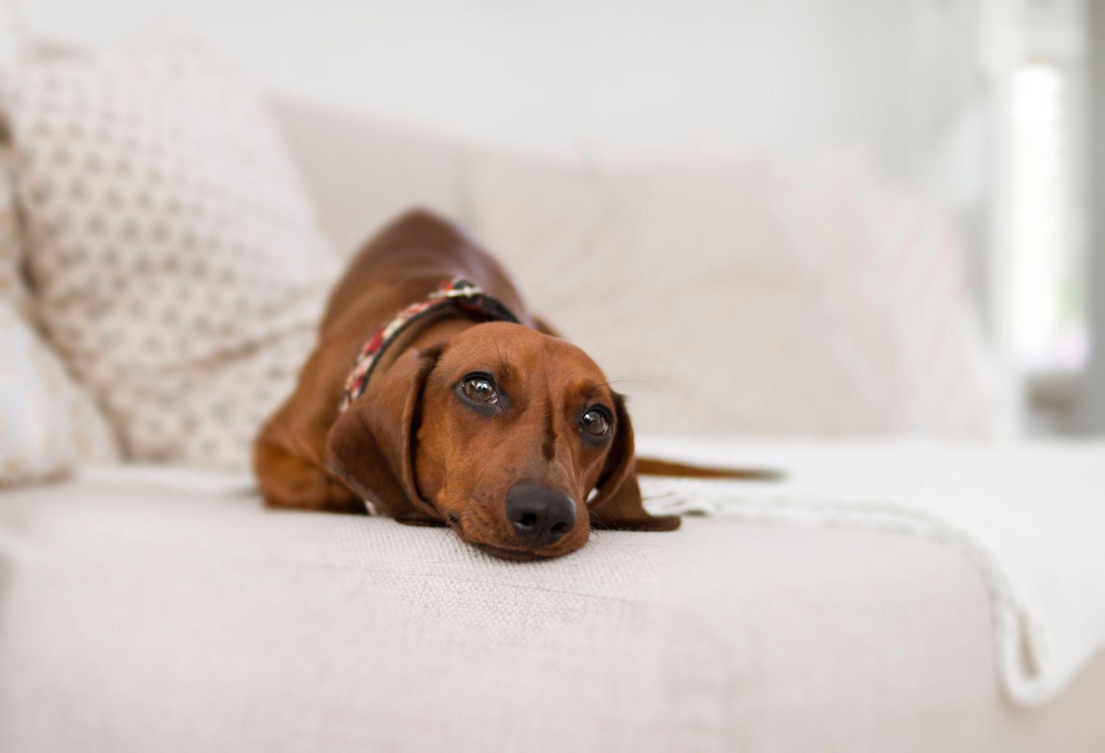 Canine coronavirus in dogs - Vetster