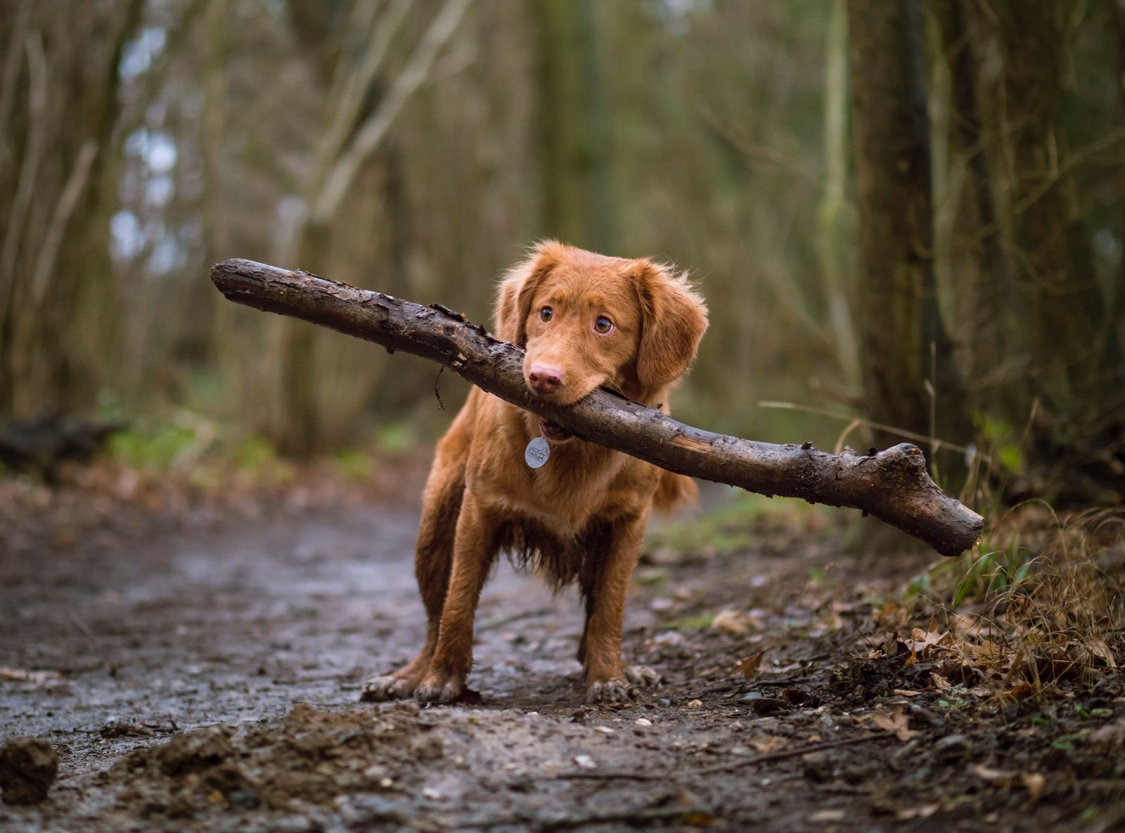 Ehrlichiosis in dogs - Vetster