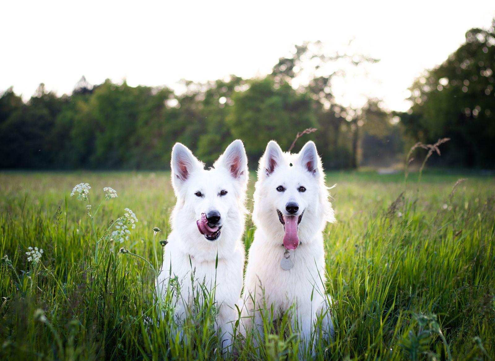 Elbow Dysplasia in dogs - Vetster