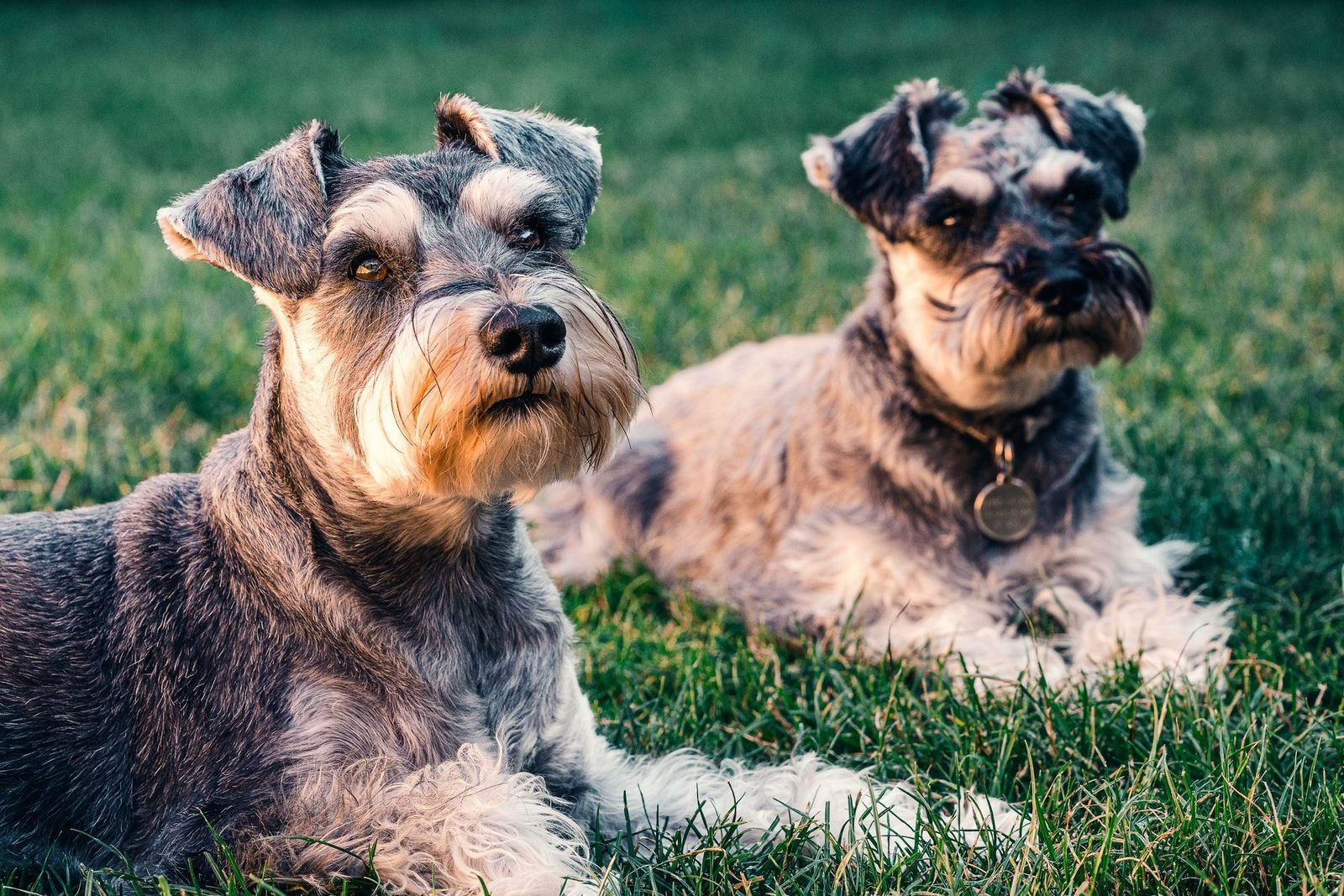 Histiocytoma in dogs - Vetster