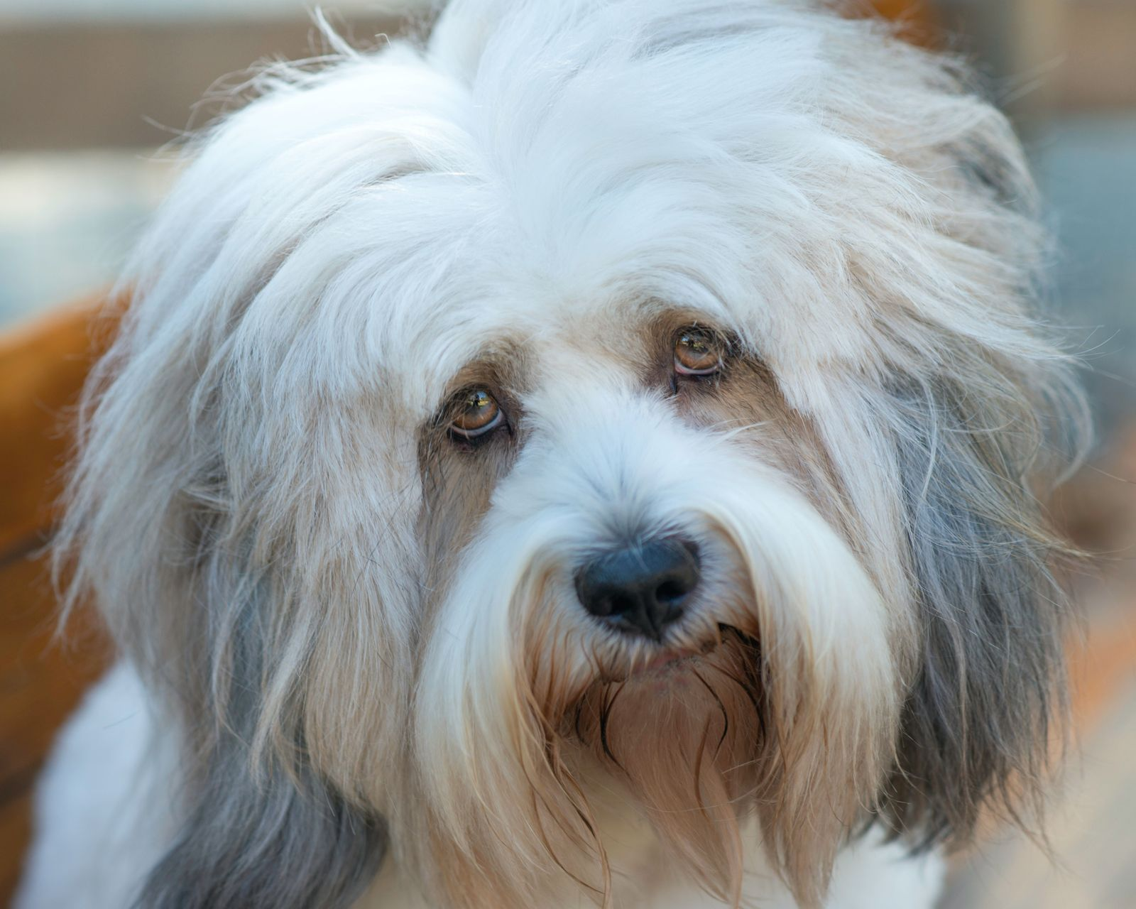 Brucellosis in dogs - Vetster